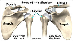 Bones of the Shoulder